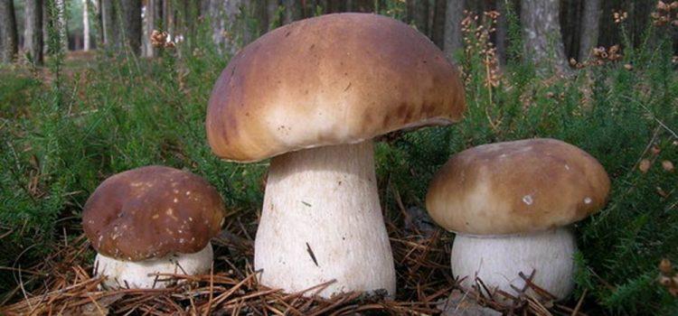 Як не отруїтися дикорослими грибами